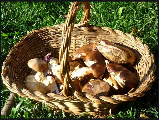 Cueillette aux champignons au Pays de Sault